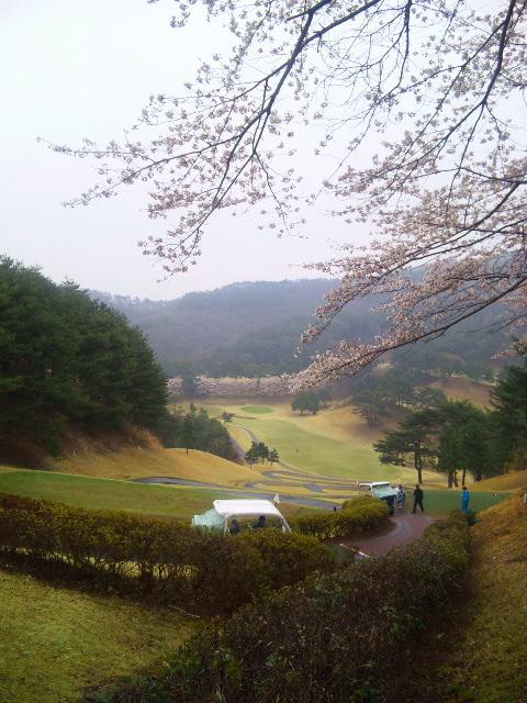 抜群に綺麗な桜♪(^^