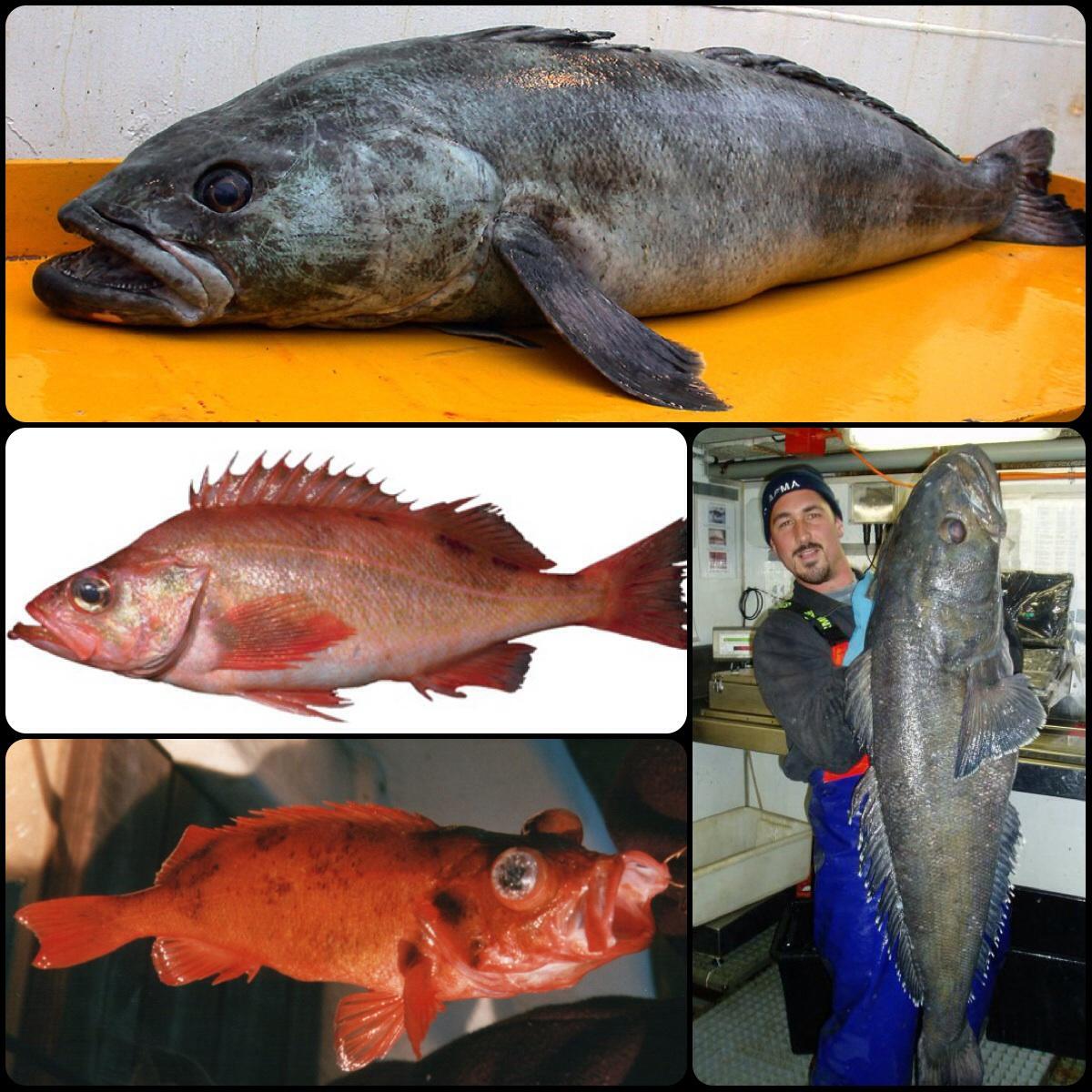 <魚のお話し: 謎の輸入魚 銀ムツと赤魚>